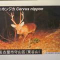 Photos: 東山動植物園:名古屋市内にいる野生動物 - 4(東谷山に鹿!?)