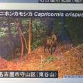 Photos: 東山動植物園:名古屋市内にいる野生動物 - 5(東谷山にカモシカ!?)