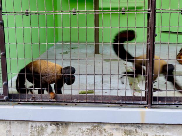 東山動植物園:立派なアゴヒゲと尻尾のオマキザル科の猿「ヒゲサキ」