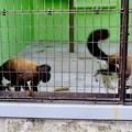 Photos: 東山動植物園:立派なアゴヒゲと尻尾のオマキザル科の猿「ヒゲサキ」