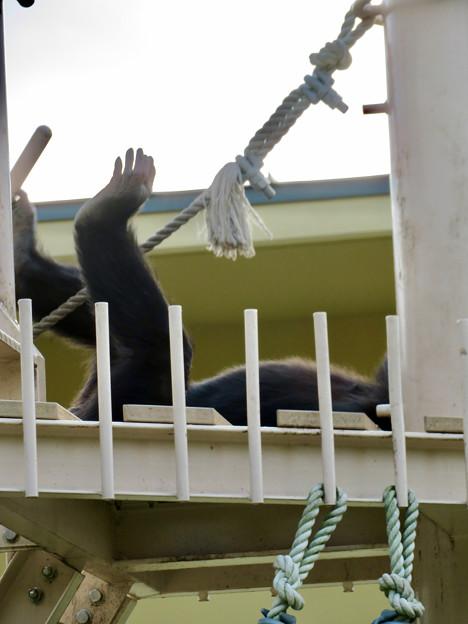 東山動植物園:珍しく外で遊んでたチンパンジー - 10