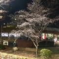 Photos: 今年も冬に咲いたピエスタ横のシキザクラ - 1