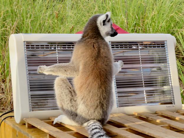 暖房器具で暖まる「WAOランド」のワオキツネザル - 1