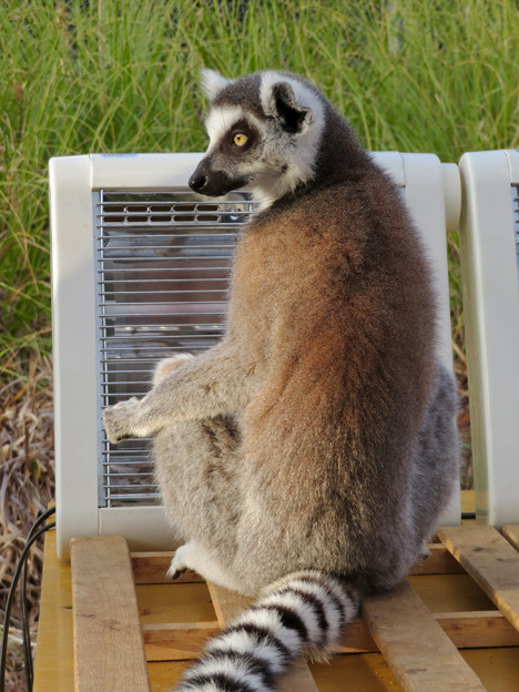 暖房器具で暖まる「WAOランド」のワオキツネザル - 6