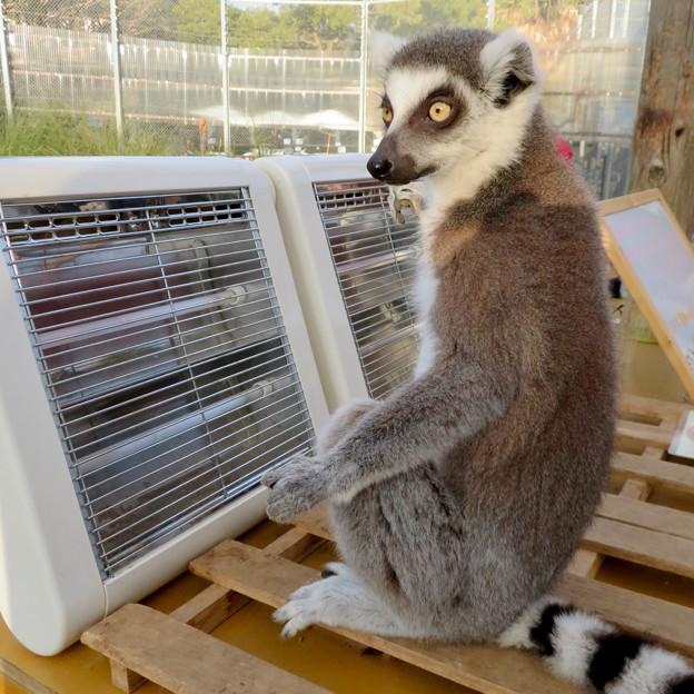 暖房器具で暖まる「WAOランド」のワオキツネザル - 8