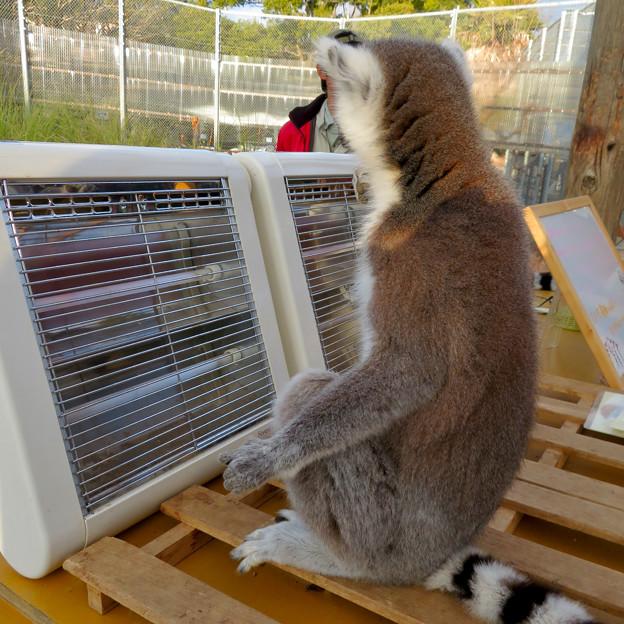 暖房器具で暖まる「WAOランド」のワオキツネザル - 9