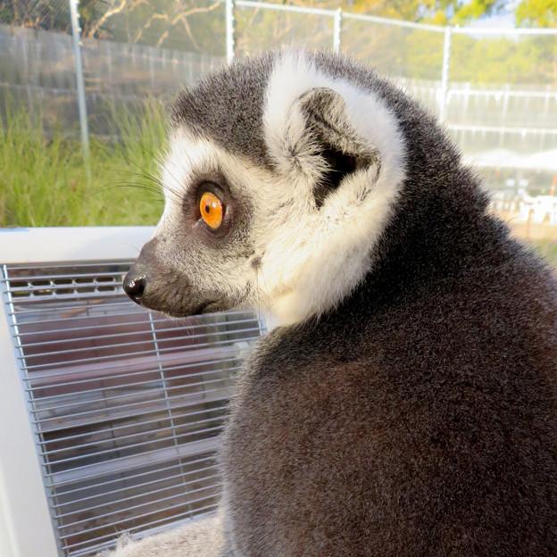 暖房器具で暖まる「WAOランド」のワオキツネザル - 10
