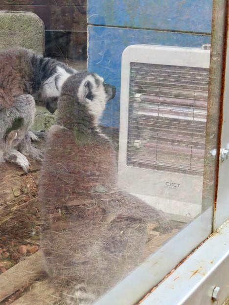 日本モンキーセンターのワオキツネザル舎 - 8:暖房器具で暖まり中