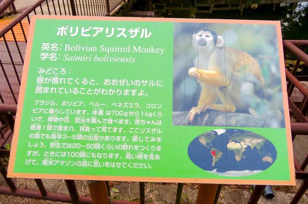 日本モンキーセンター「リスザルの森」- 8:ボリビアリスザルの説明
