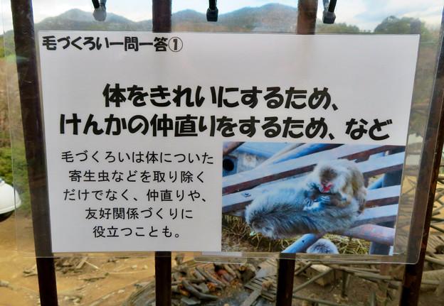 日本モンキーセンター「モンキーバレイ」のヤクザル - 10:毛づくろいの説明