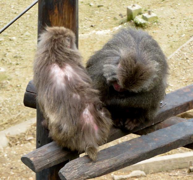 日本モンキーセンター「モンキーバレイ」のヤクザル - 11:毛づくろい中