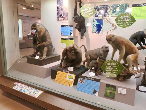 日本モンキーセンター「ビジターセンター」 - 10:色んな猿の剥製