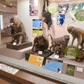 Photos: 日本モンキーセンター「ビジターセンター」 - 10:色んな猿の剥製