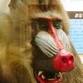 Photos: 日本モンキーセンター「ビジターセンター」 - 16:めっちゃ強そうだったマンドリル(剥製)