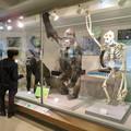 Photos: 日本モンキセンター「ビジターセンター」 - 17:ゴリラの剥製と骨格標本