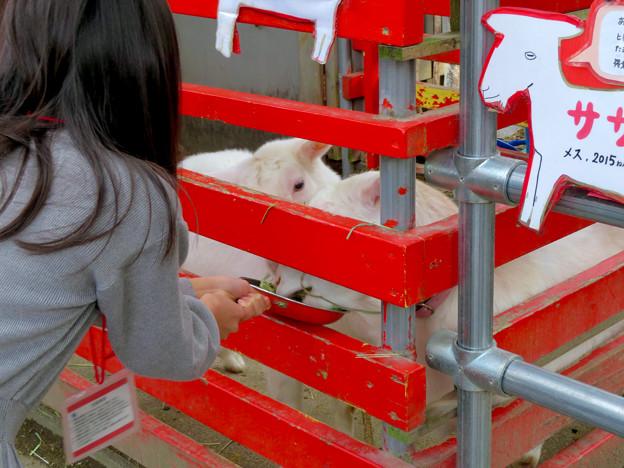 日本モンキーセンター「Kids Zoo」 - 8:ヤギ