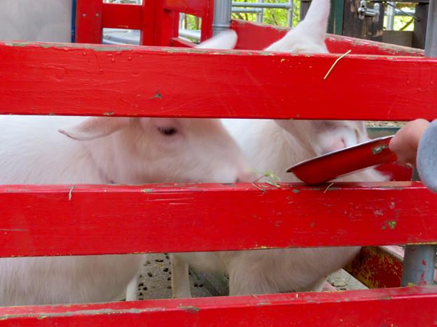 日本モンキーセンター「Kids Zoo」 - 9:ヤギ