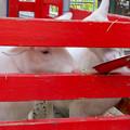 Photos: 日本モンキーセンター「Kids Zoo」 - 9:ヤギ