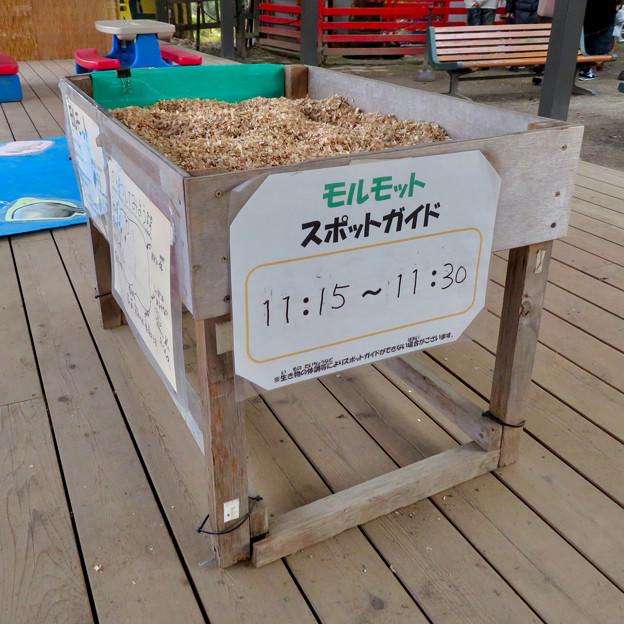 Photos: 日本モンキーセンター「Kids Zoo」 - 14:モルモットスポット