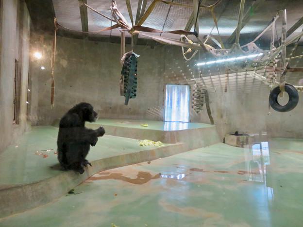 日本モンキーセンターの「アフリカセンター」No - 12:チンパンジー