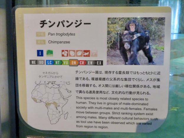 日本モンキーセンターの「アフリカセンター」No - 13:チンパンジーの説明