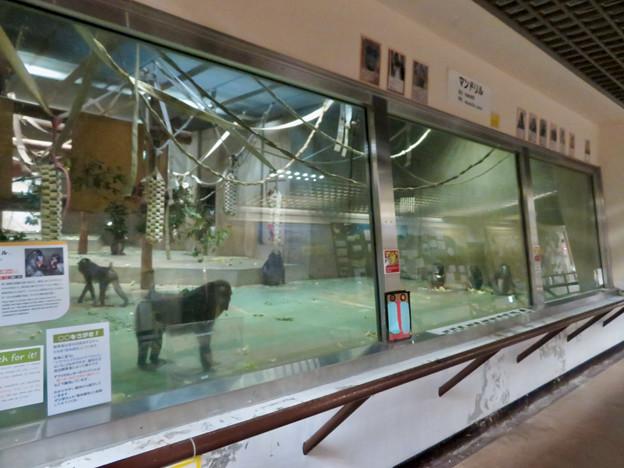 日本モンキーセンターの「アフリカセンター」No - 14:マンドリル舎