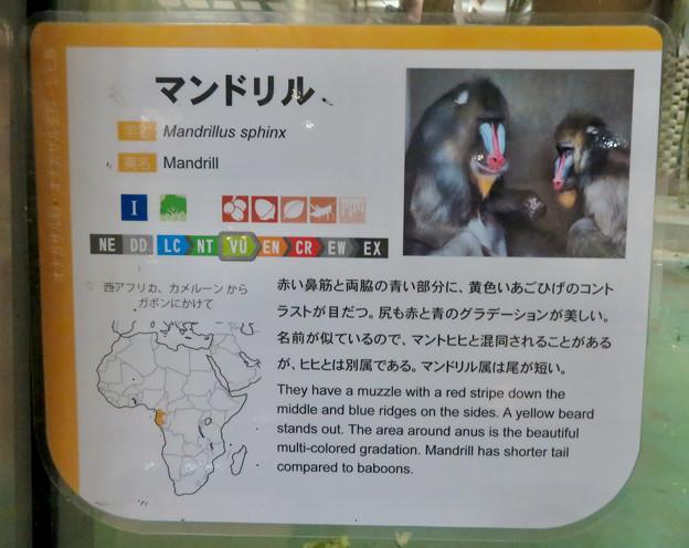 日本モンキーセンターの「アフリカセンター」No - 15:マンドリルの説明