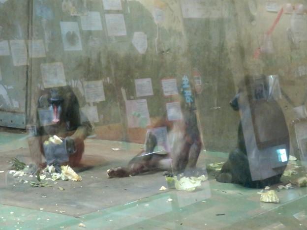 日本モンキーセンターの「アフリカセンター」No - 16:並んで食事中のマンドリル