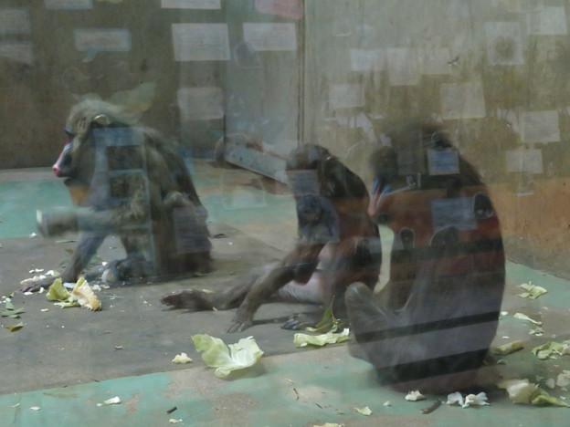日本モンキーセンターの「アフリカセンター」No - 17:並んで食事中のマンドリル