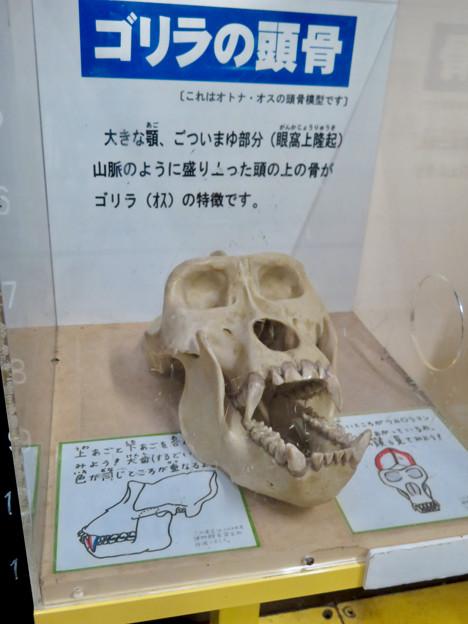 日本モンキーセンターの「アフリカセンター」No - 18:ゴリラの頭蓋骨