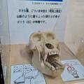 Photos: 日本モンキーセンターの「アフリカセンター」No - 18:ゴリラの頭蓋骨