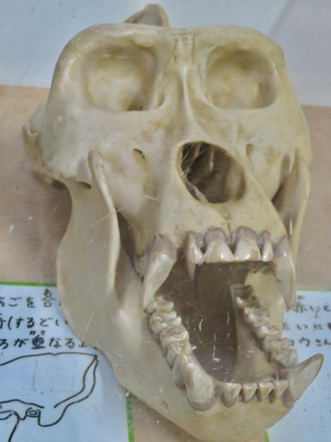 日本モンキーセンターの「アフリカセンター」No - 19:ゴリラの頭蓋骨