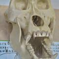 Photos: 日本モンキーセンターの「アフリカセンター」No - 19:ゴリラの頭蓋骨