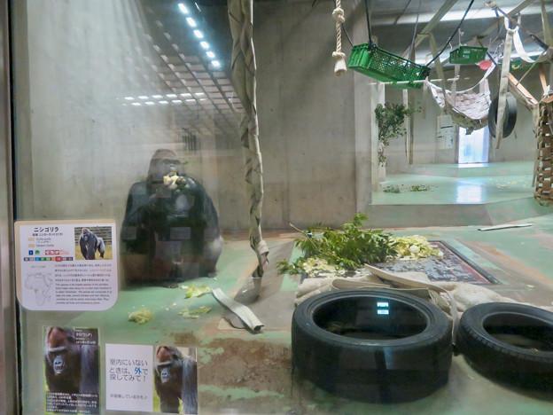 日本モンキーセンターの「アフリカセンター」No - 21:ゴリラ舎