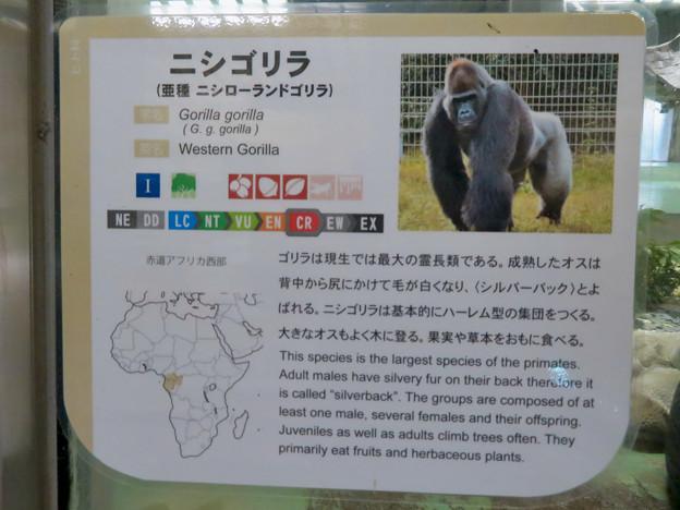 日本モンキーセンターの「アフリカセンター」No - 22:ゴリラの説明
