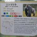Photos: 日本モンキーセンターの「アフリカセンター」No - 22:ゴリラの説明
