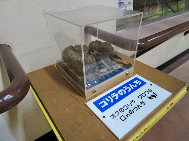 日本モンキーセンターの「アフリカセンター」No - 23:ゴリラのうんち