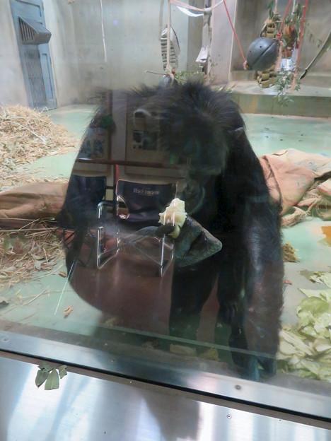 日本モンキーセンターの「アフリカセンター」No - 25:チンパンジー