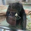 Photos: 日本モンキーセンターの「アフリカセンター」No - 25:チンパンジー