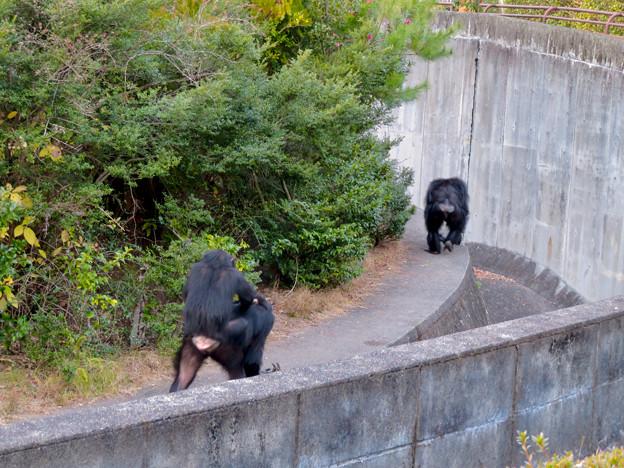 日本モンキーセンターの「アフリカセンター」No - 28:建物外側を歩くチンパンジー