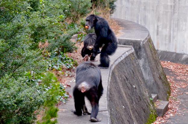 日本モンキーセンターの「アフリカセンター」No - 30:建物外側を歩くチンパンジー