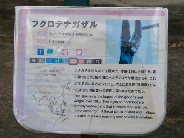 日本モンキーセンター No - 8:フクロテナガザルの説明