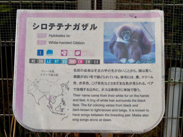 日本モンキーセンター No - 28:シロテナガザルの説明