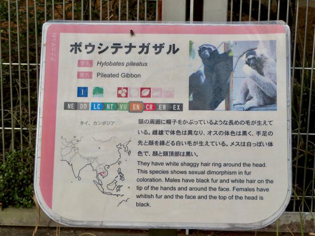 日本モンキーセンター No - 33:ボウシテナガザルの説明