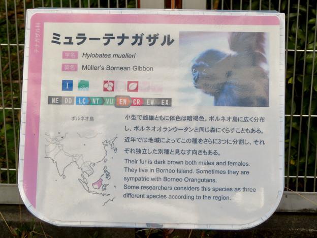 日本モンキーセンター No - 34:ミューラーテナガザルの説明