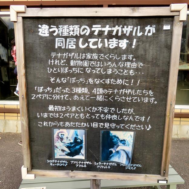 日本モンキーセンター No - 35:違う種類のテナガザルが同居!