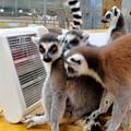 Photos: モンキーセンター「WAOランド」:ヒーターに集まって暖まるワオキツネザル - 9