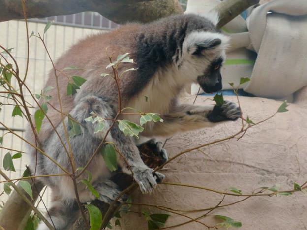 葉っぱを食べていたモンキーセンターのワオキツネザル - 3