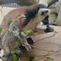 Photos: 葉っぱを食べていたモンキーセンターのワオキツネザル - 3