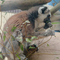 Photos: 葉っぱを食べていたモンキーセンターのワオキツネザル - 4